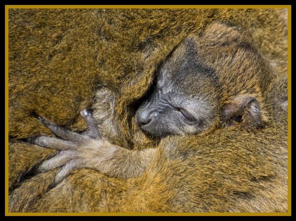 New baby Lemur by foxdownspringflower