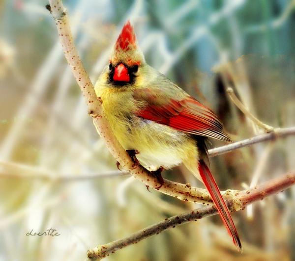 Female Cardinal by doerthe