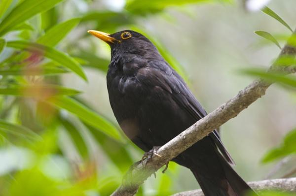 Blackbird by alcontu