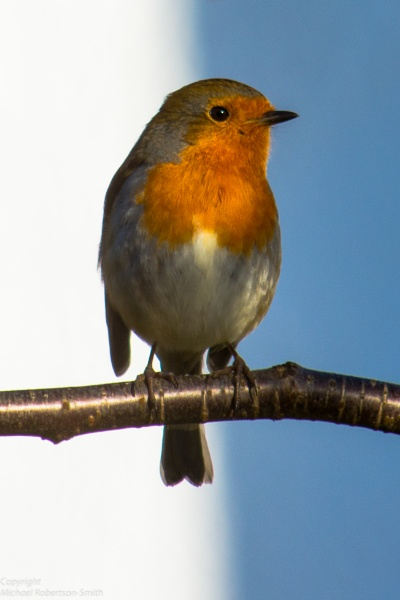 Robin Redbreast by Strat4dMRS