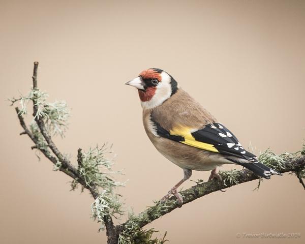 Goldfinch by Trev_B