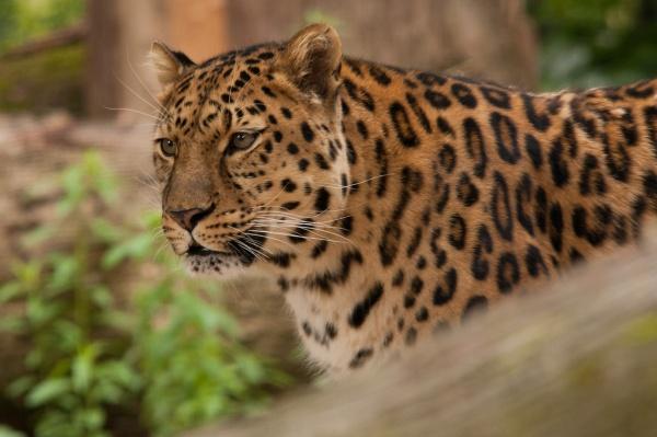 Amur leopard by Mike59