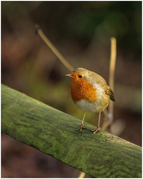 Robin by malleader