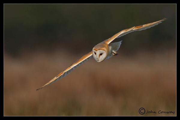 Barn Owl Hunting by jaymark1