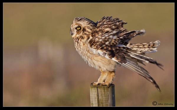 Short-eared owl - Asio flammeus by jaymark1