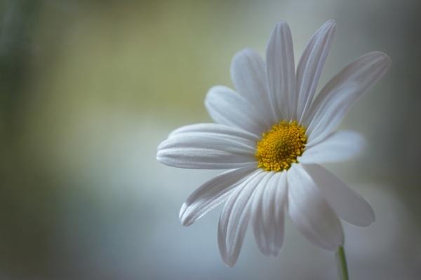 Daisy by MandyD