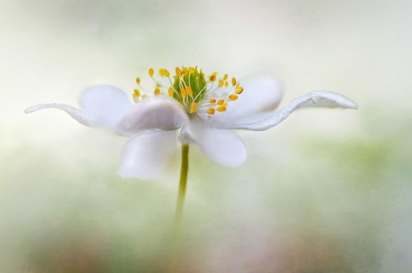 Anemone Nemorosa by MandyD