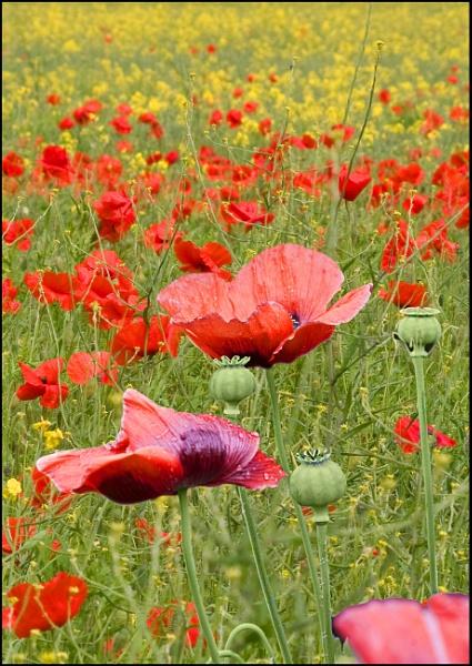 poppy field by alant2