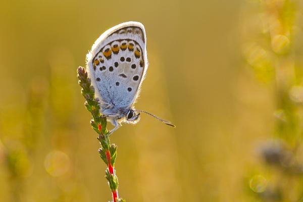 Silver Studded Blue by skidzy