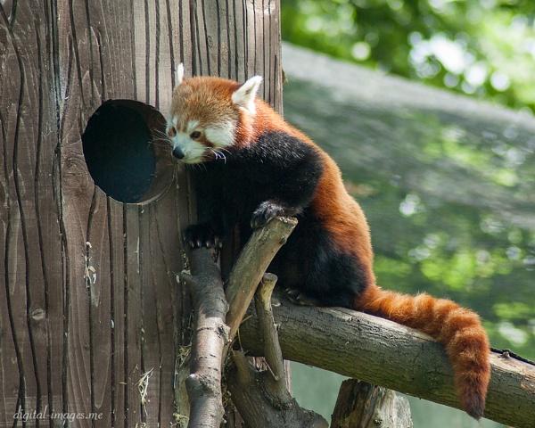 Red Panda by Alan_Baseley