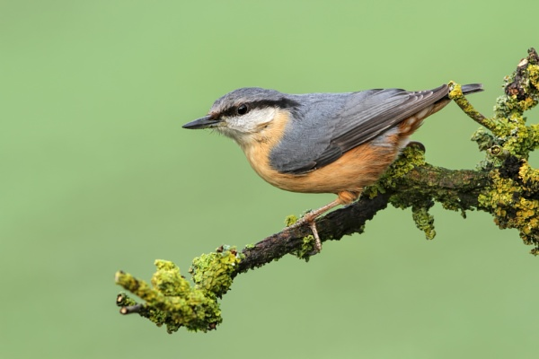 Nuthatch by jcorn3