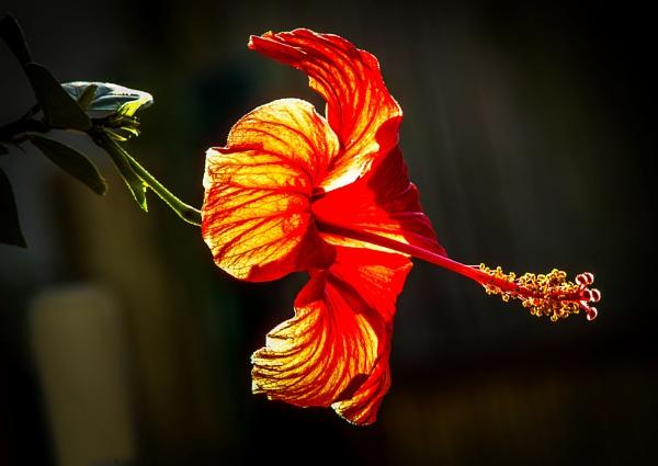 Hibiscus -Sun lit by queengu21