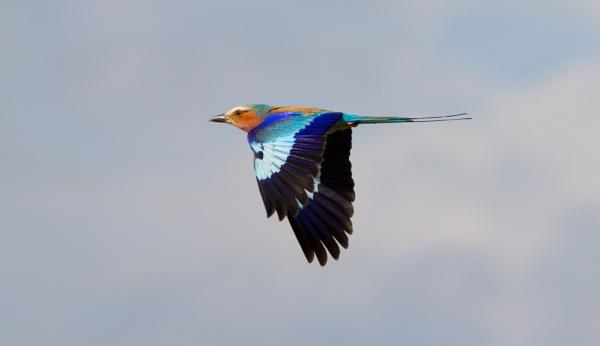Roller in Flight by pf