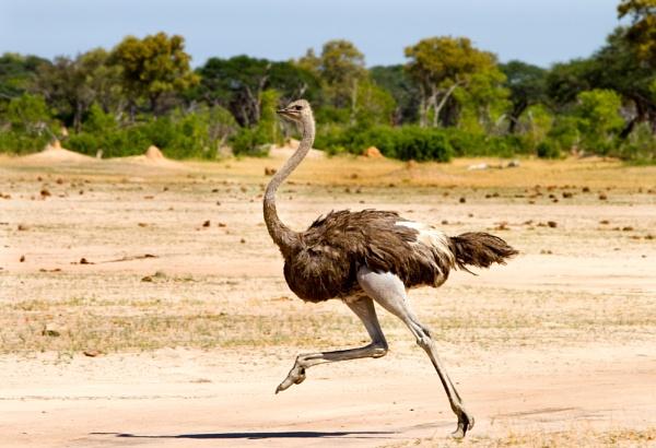 Running Ostrich by pf