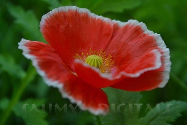 Colorful flower in garden by Prashant1610