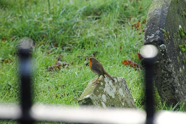 Stanmer Robin by lustrells61