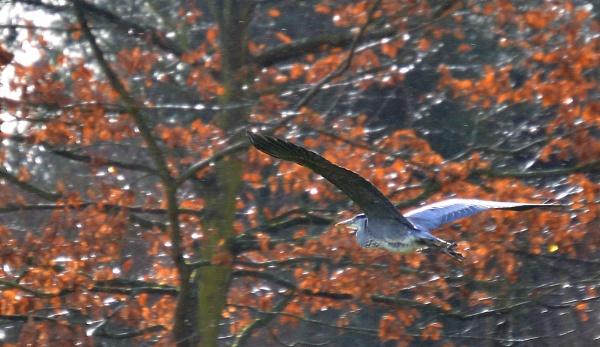 Heron in Flight by Brovy