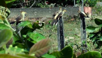 Guira Cuckoo family