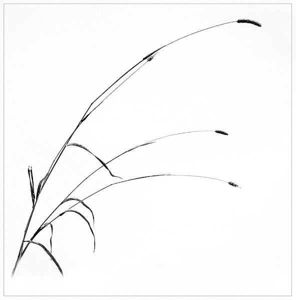 Winter Grasses by MalcolmM