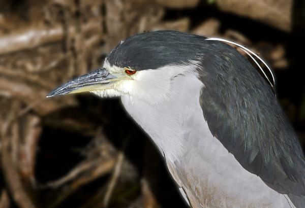 Black-crowned Night Heron by snooked