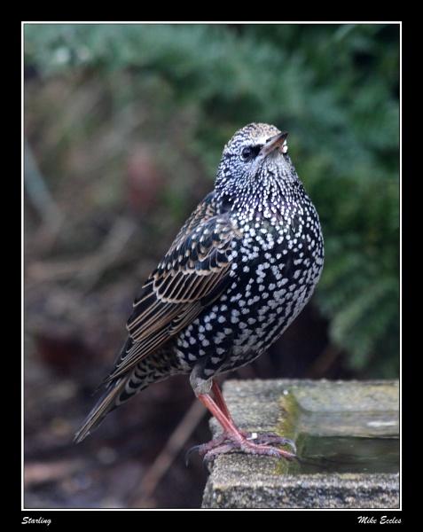 Starling by oldgreyheron