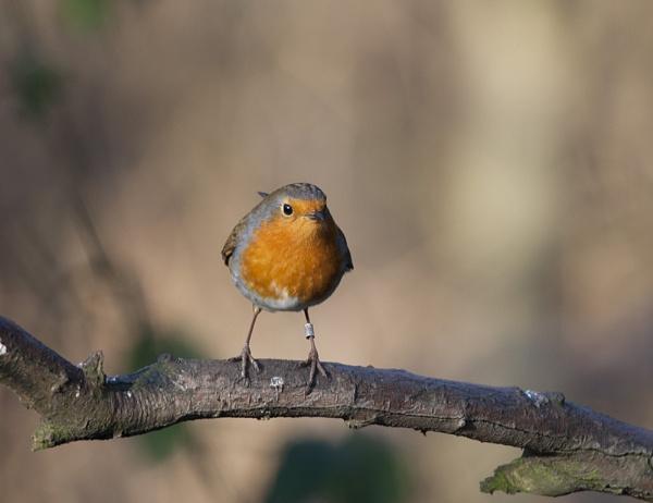 Robin by DenisG