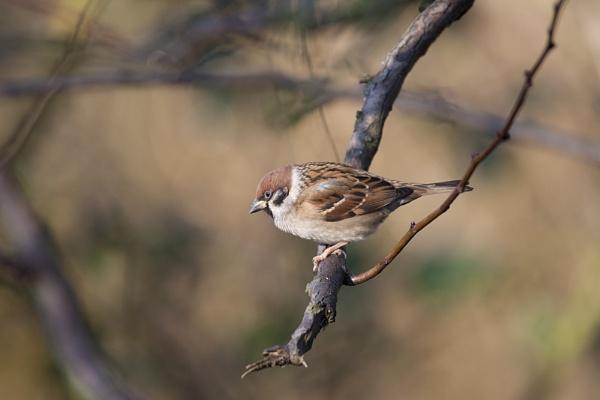 Tree Sparrow by DenisG