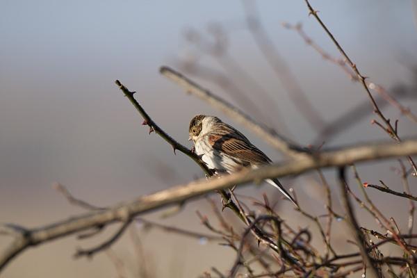 Reed Warbler by DenisG