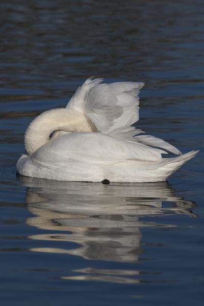 Swan by DenisG