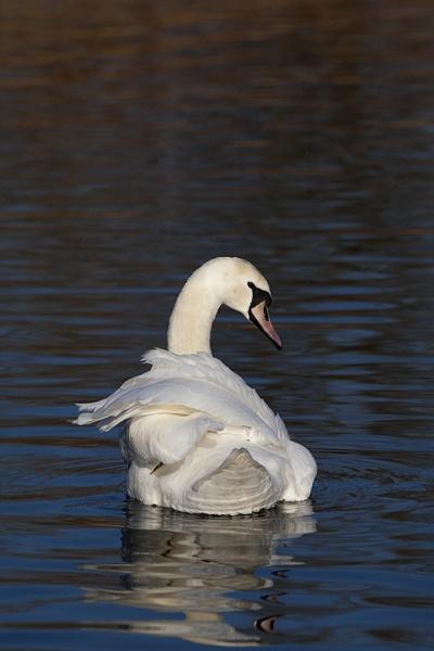 Swan2 by DenisG
