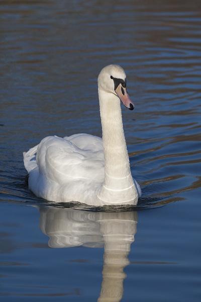 Swan3 by DenisG