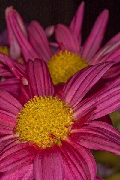 Chrysanthemum by robst