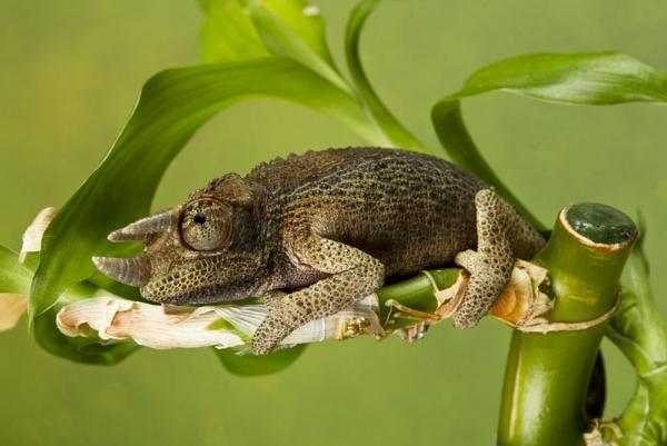 Jackson\'s chameleon by Geofferz