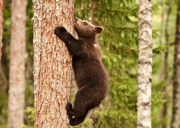 Tree climbing Bear by rontear