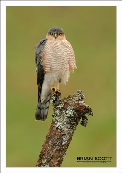 Male Sparrowhawk by Brian_Scott
