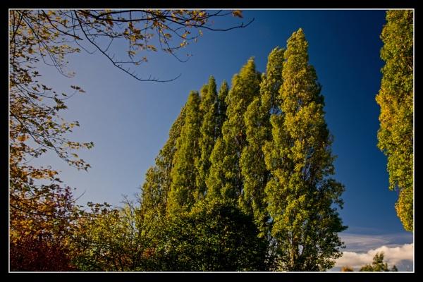 Poplars by jafergusonuk