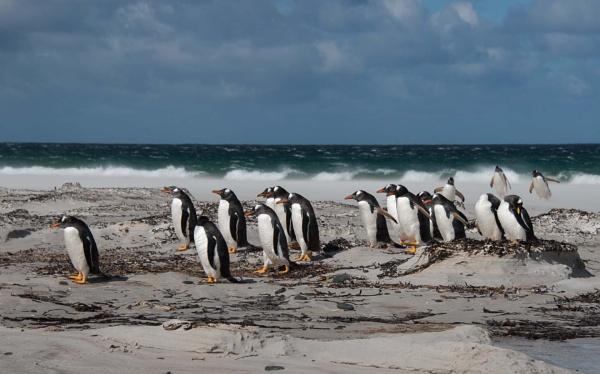 Gentoo Penguins Pygoscelis papua by Kim Walton