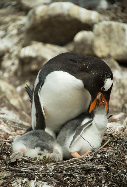 Gentoo Penguin and Chicks   Pygoscelis papua by Kim Walton