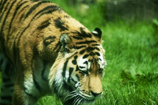 grumpy tiger by scartlane