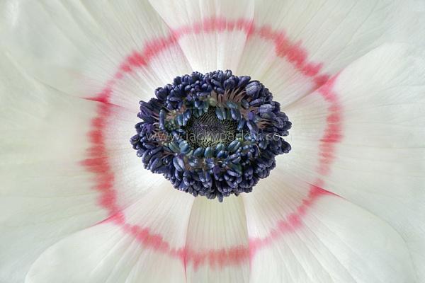White Windflower by jackyp