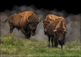 Bison trio around hot spring