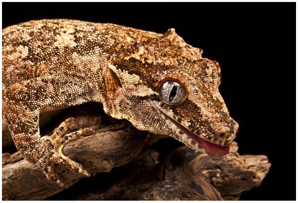 Gecko by AnnJ