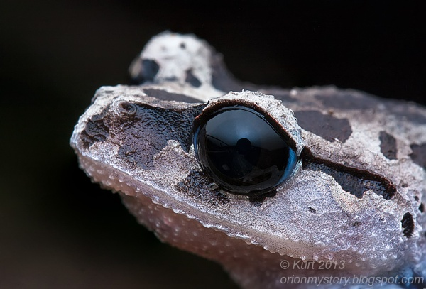 Black-eyed Litter Frog by orionmystery