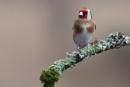 Goldfinch by MarkBullen