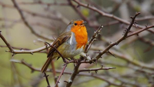 Rockin Robin by Brovy