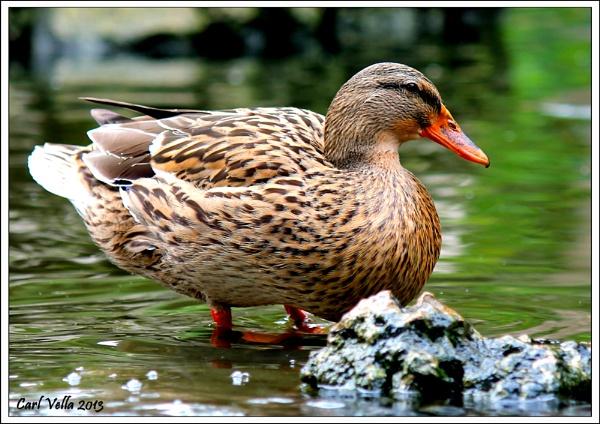The Mallard Duck by Carl86