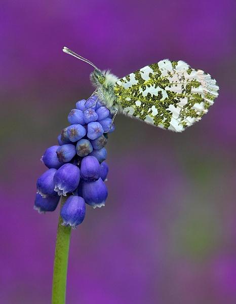 grape hyacinth Orange-tip by Gruditch