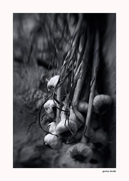 garlic bulb by bliba