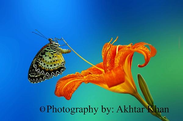 Butterfly by akhtarkhan