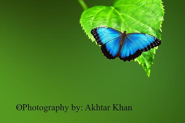 Blue Morpho Butterfly by akhtarkhan